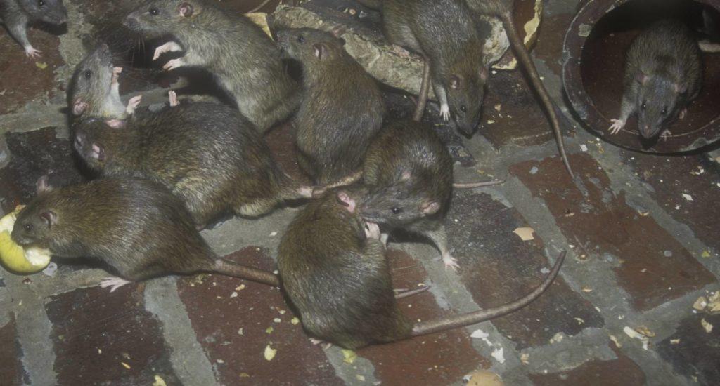 уничтожение крыс в Коломне